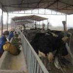 Kỹ thuật chăn nuôi đà điểu Ostrich (Châu Phi)