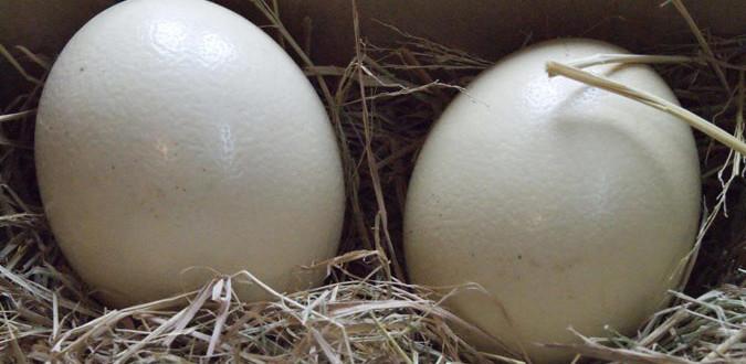 Trứng đà điểu cho chất lượng tốt nhất