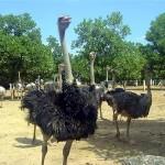 Đặc điểm sinh học và khả năng sản xuất của đà điểu ostrich