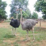 Sản phẩm từ đà điểu ostrich