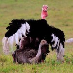Khả năng giao phối của đà điểu Ostrich