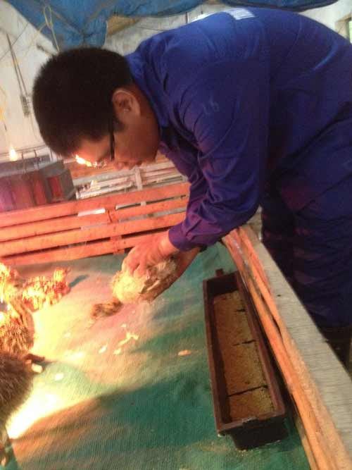 Kiểm tra phân loại đà điểu tại Trang trại đà điểu Việt Nam
